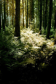 An atmospheric image of the sunlight coming through trees in a forest.