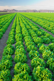 Rows of green Leaf Lettuce #1