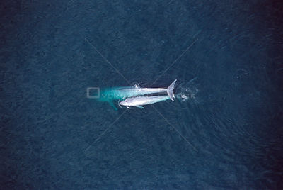 Aerial view of Blue whale + calf {Balaenoptera musculus} Sea of Cortez, Mexico