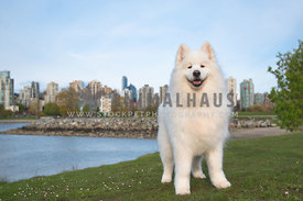 gorgeous samoyed dog standing in front of Vancouver skyline