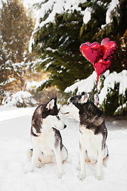 two Siberian Huskies in snow with red balloons Valentine's Day