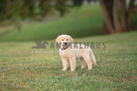 young golden retreiver puppy wearing purple collar standing on grassy field