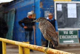 Juvenile black crowned night heron (Nycticorax nycticorax hoactli) on railing in port