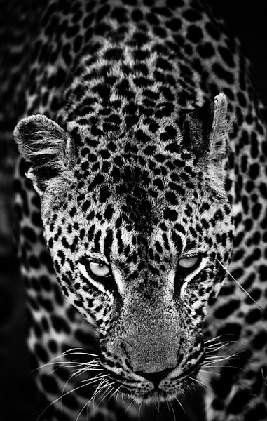 4305-The_strong_leopard_South_Africa_2008_Laurent_Baheux