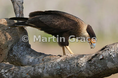 Southern Crested Caracara (Caracara plancus) holding a small food item at the tip of its bill, Northern Pantanal, Mato Grosso...