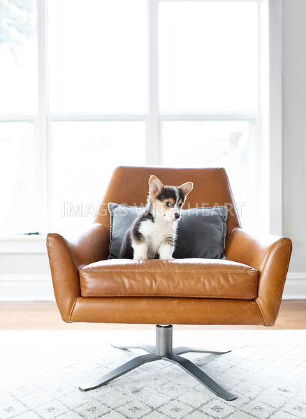 corgi_puppy_sitting_on_leatherchair