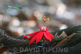 Passion Flower sp flowering on forest floor at Canopy Camp in Darién Panama