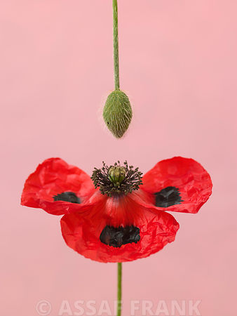 Close-up of red poppy with flower bud hanging