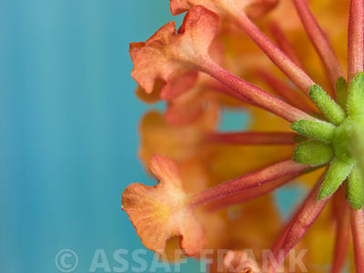 Lantana Camara flower close-up