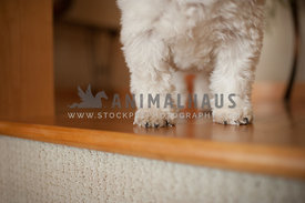 close up of shih tzu legs and paws standing on a wood floor