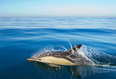 Common dolphin (Delphinus delphis) surfacing, Atlantic ocean, Portugal, September.