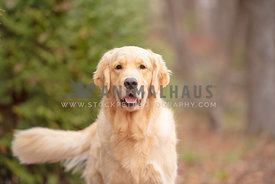 close up of smiling golden retriever in the woods