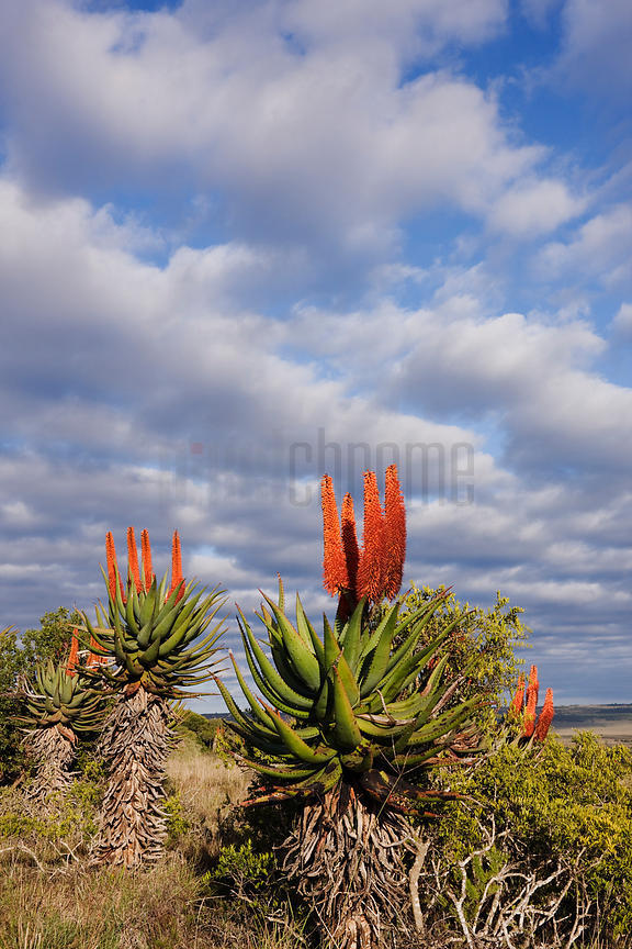 Flowering Aloes