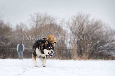 husky playing fetch in snow with man