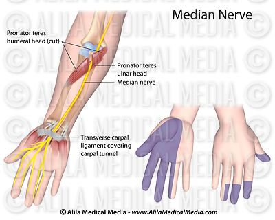 Median nerve diagram