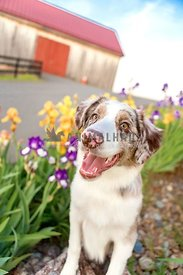 smiling farm dog perched on rock