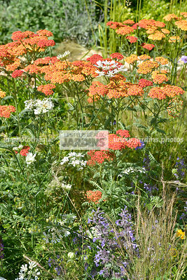 Association de plantes vivaces : Achillea 'Terracotta', Orlaya grandiflora. Paysagiste : Peter Reader, Hampton Court, Angleterre