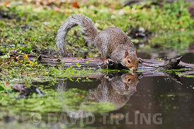 Grey Squirrel  Sciurus carolinensis drinking at pool in woodland Norfolk late summer