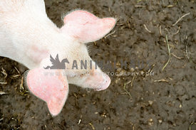 overhead pictue of white baby pig with big ears