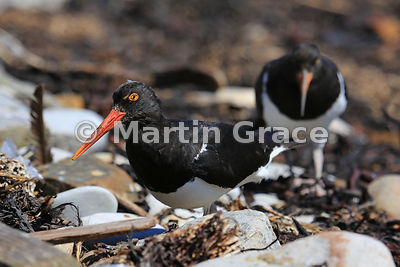 Adult Magellanic Oystercatcher (Haematopus leucopodus), trailed by one of its offspring, feeding in the strand line, Carcass ...