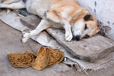 A street dog rests near chapati bread laid out by a good samaritan, Pushkar, Rajasthan, India