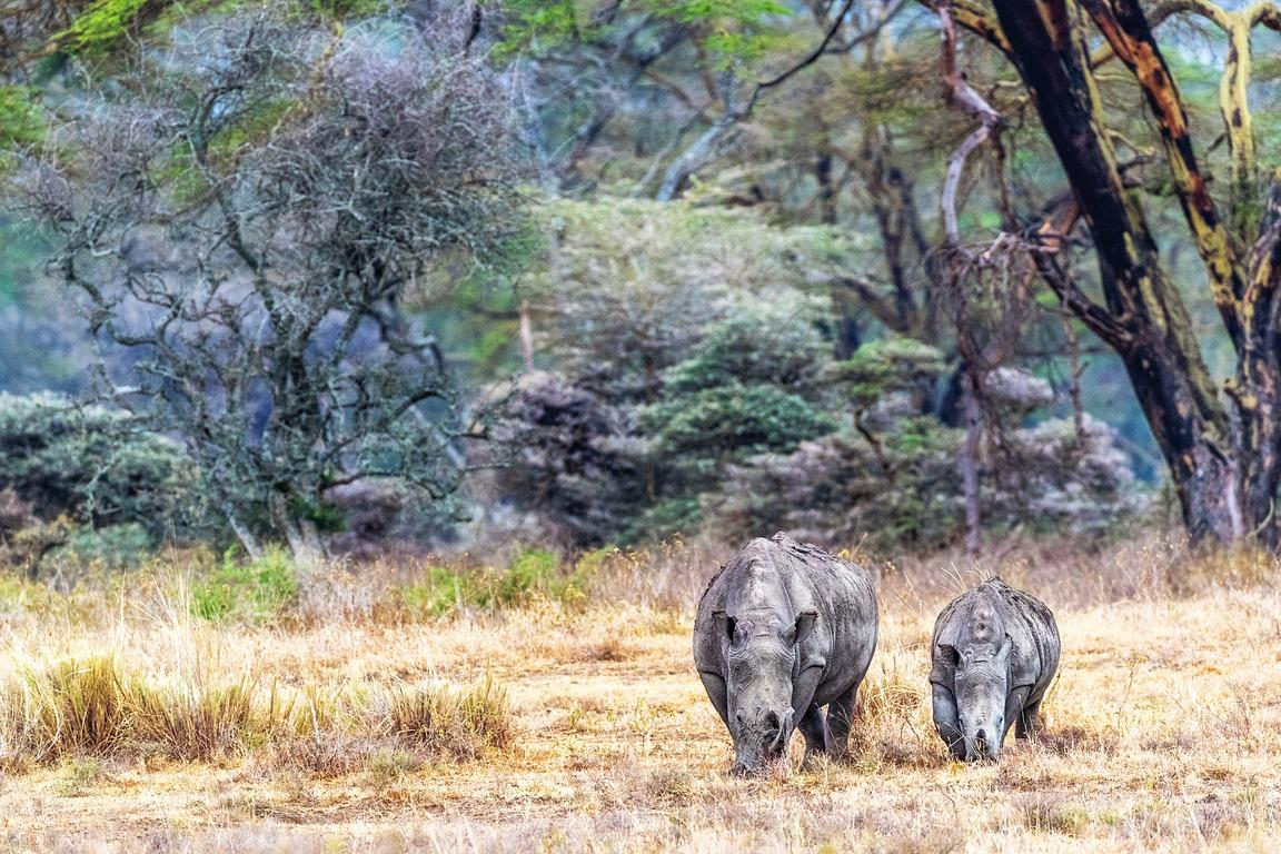 White Rhino Calf and Parent in Lake Nakuru
