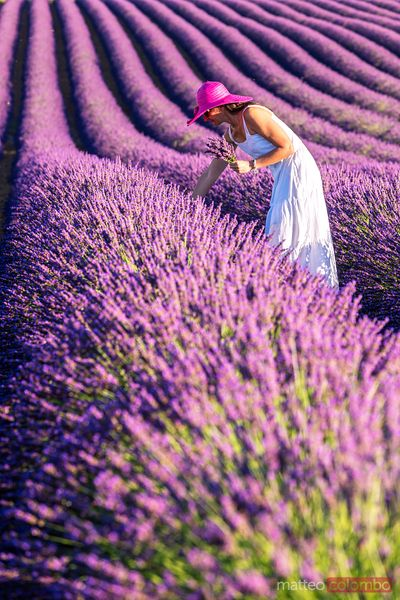 Woman in white picking up lavender, Provence, France