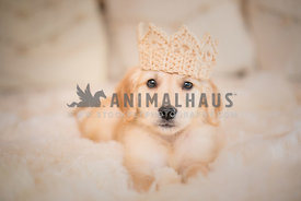 golden retriever puppy laying on the bed wearing a crochet crown