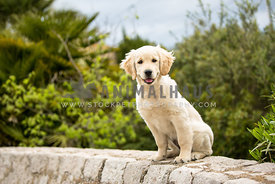 golden retreiver puppy siting on stone wall