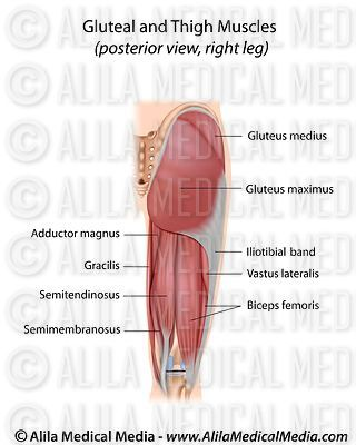 Gluteal and thigh muscles posterior