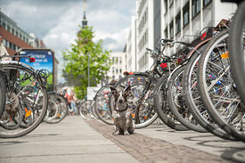 Cute little dog sitting between bicycles in the city