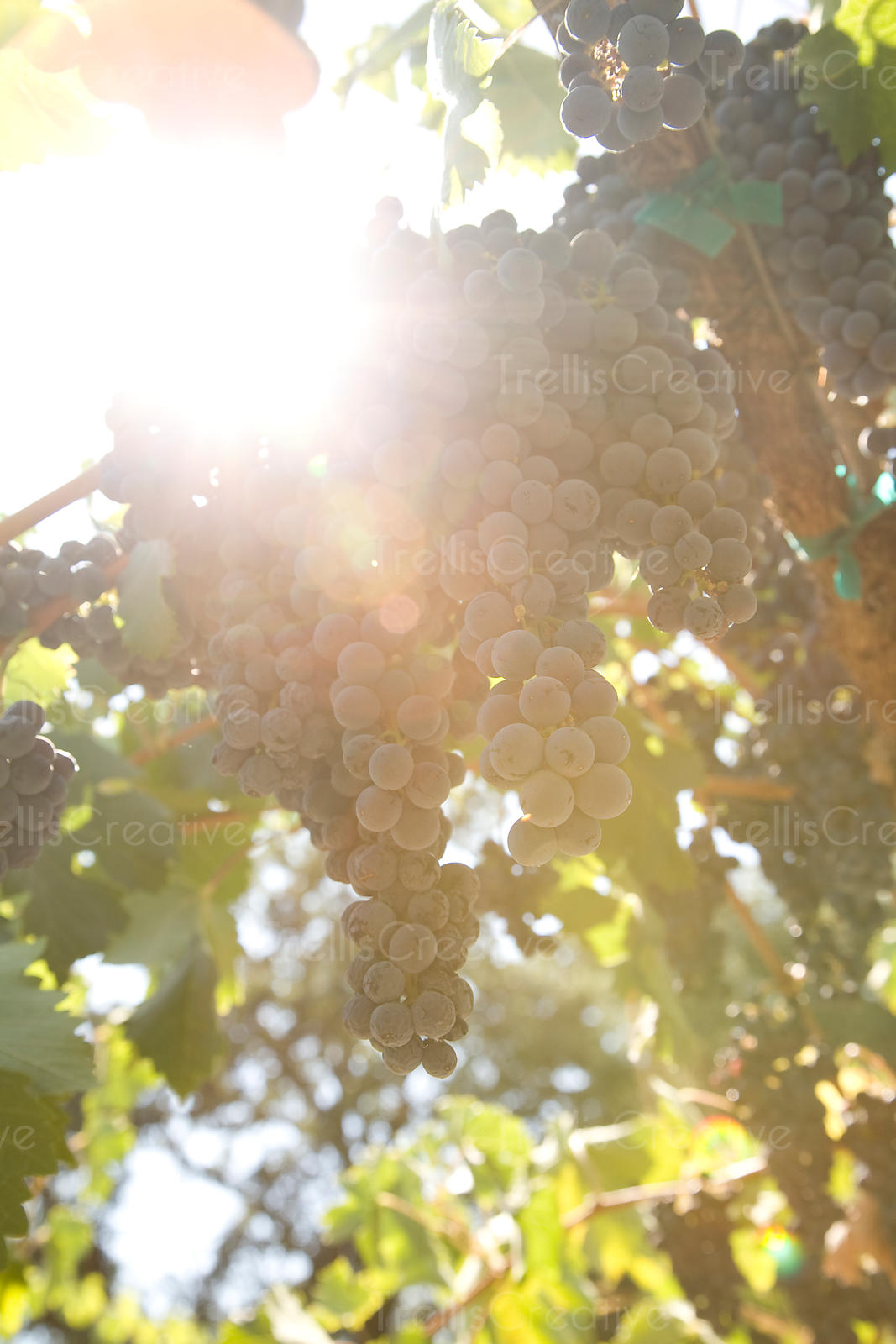 Looking up at clusters of ripe merlot wine grapes hanging on the vine