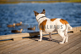 Small brown and white terrier overlooking pond with ducks