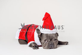 Grey french bulldog unhappy in santa outfit