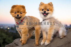 two pomeranians on a cliff over Los Angeles