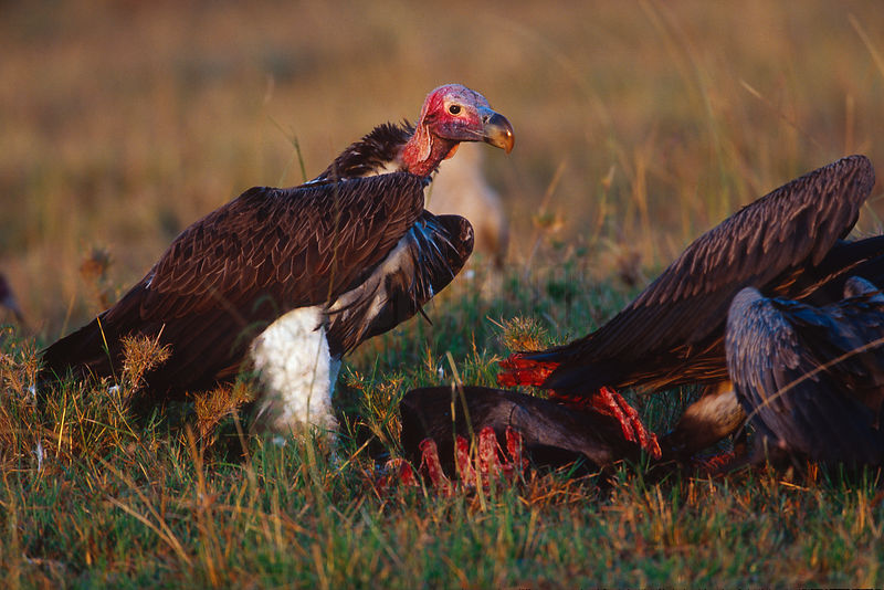 Lappet Faced Vulture at Carcass