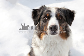 border collie with cracked eye in Snow
