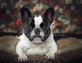 french Bulldog in studio laying on  furs and floral background classic style
