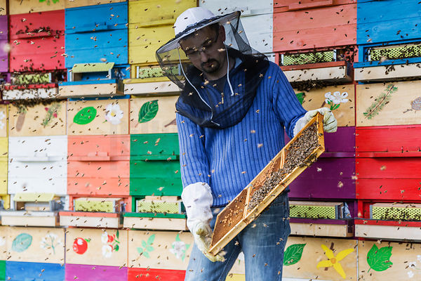 Bee Keeper Holding a Frame from a Traditional Slovenian Beehive