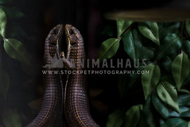 reflection of plated lizard in enclosure with vegetation