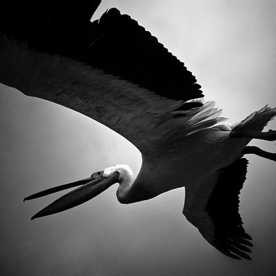 X-Bird-Pelican_flying_Laurent_Baheux