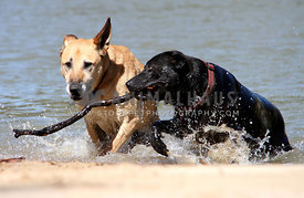 Black and light brown colored dog running out of water with stick in mouth. Black dog is looking intently at other dog.