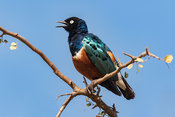 Portrait of a Superb Starling