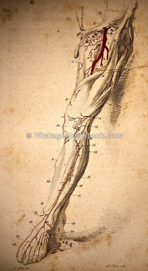 Nerve and Blood Supply of the Leg