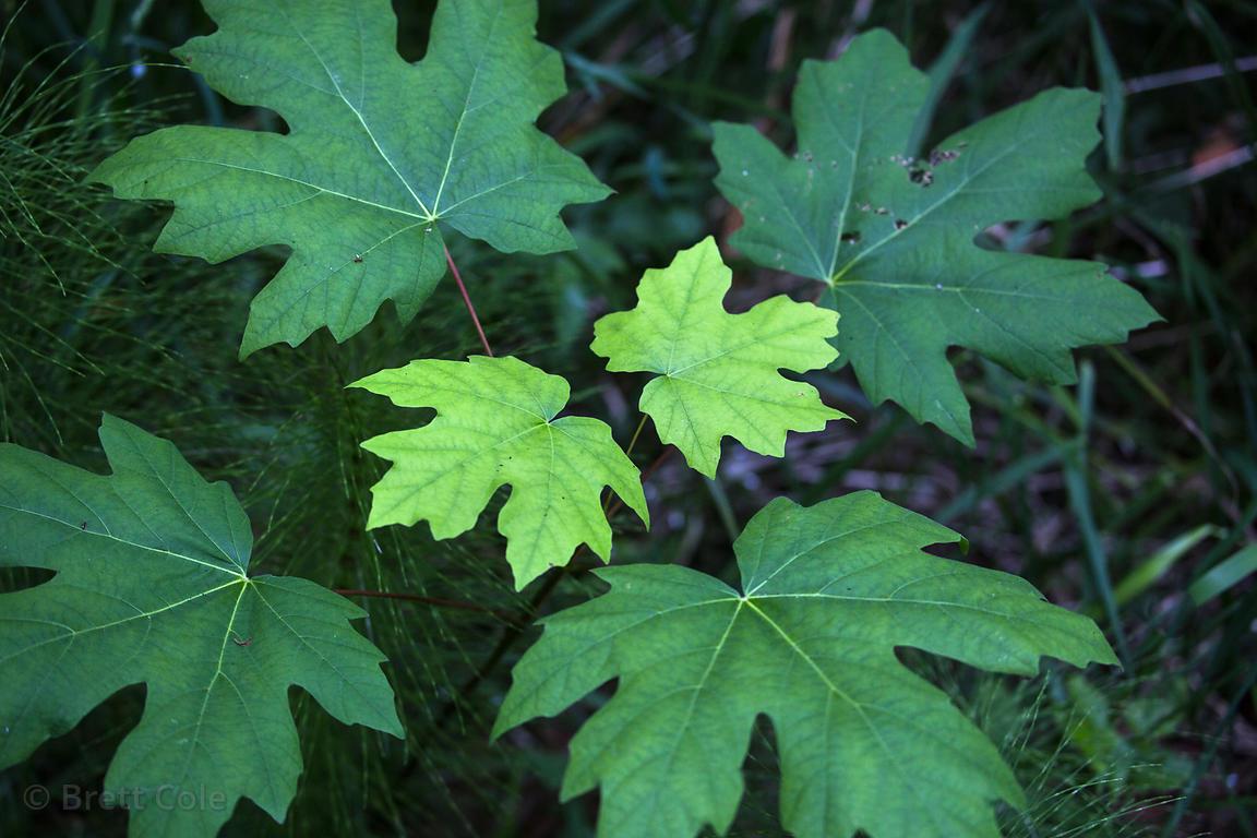 Brett Cole Photography Bigleaf Maple Acer Macrophyllum Sapling