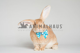 A bunny wearing a polka dot bow tie