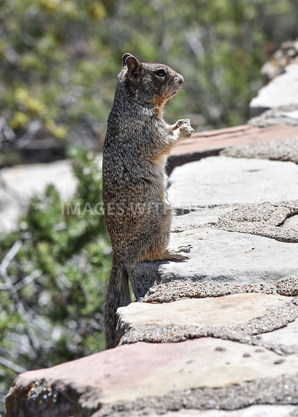 Squirrel Standing Up on Rock Ledge