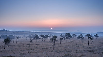 Spring sunrise on the misty heathland of Woodbury Common, near Exmouth, Devon, UK