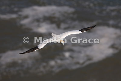 Adult Northern Gannet (Morus bassanus) in flight, Bempton Cliffs (RSPB), East Riding of Yorkshire, England