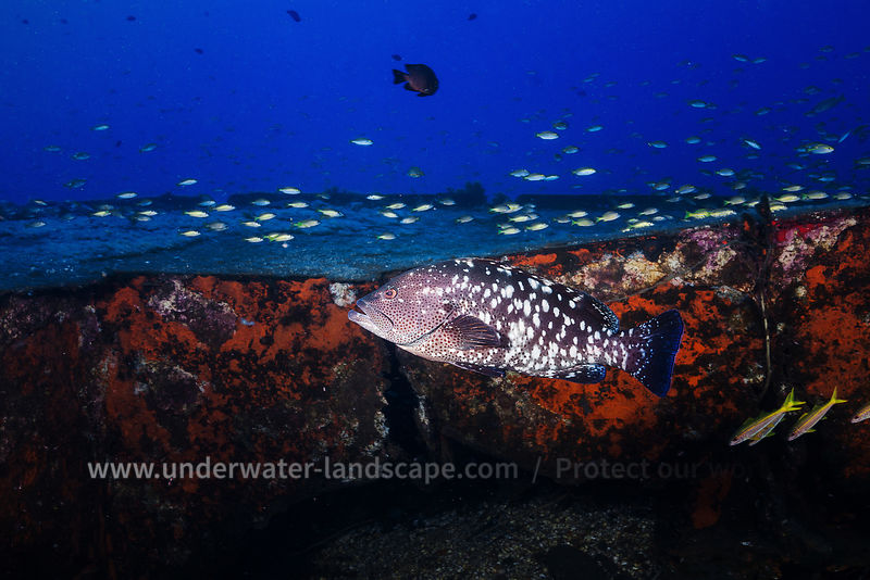 White-blotched grouper